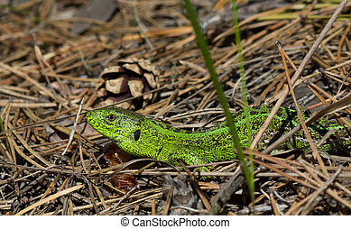 Sand lizard. The male lizard in breeding green color. - Sand...