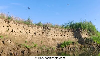 Sand martin bird colony - Nesting colony of sand martins on...