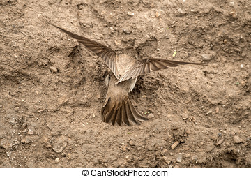 Sand Martin digging a nest on a sandbank