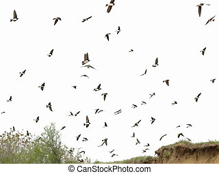 Sand Martin flock of birds isolated