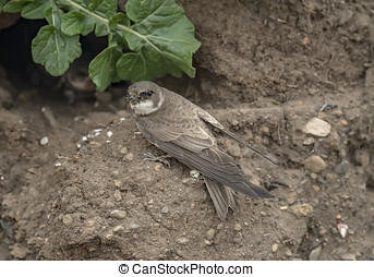 Sand Martin on the edge of its nest in a sandbank