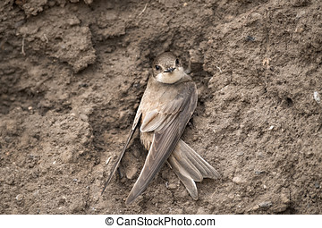 Sand Martin resting on sandbank