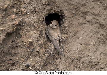 Sand Martin resting on sandbank wall by its nest