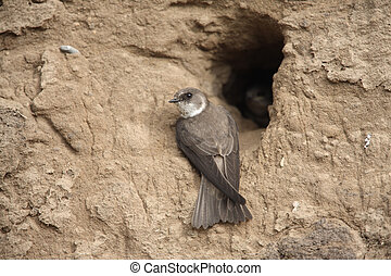 Sand martin, Riparia riparia, at nest, Scotland, spring...