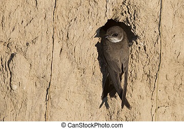 Sand Martin (riparia riparia) on Nest