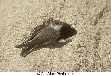 Sand martin, Riparia riparia, single bird at nest entrance,...