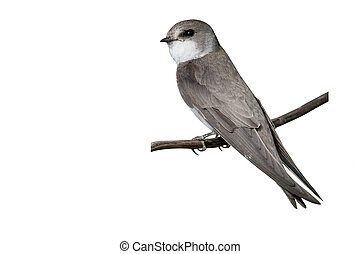 Sand martin, Riparia riparia, single bird on perch,...
