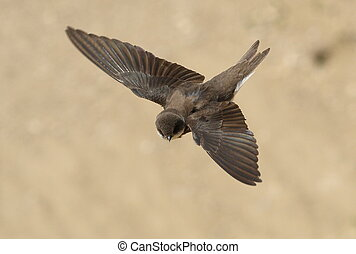 Sand Martin, swallow in flight