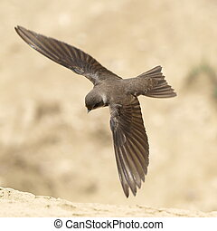 Sand Martin, swallow in flight