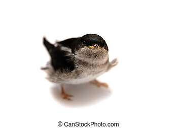 Sand Martin swallow on white