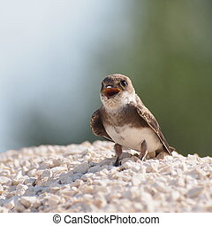 Sand Martin, swallow, riparia ripar