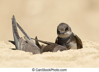 Sand Martin, swallow, riparia