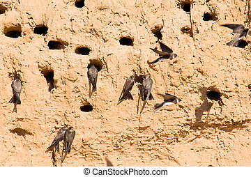Sand Martins or Riparia riparia in nesting holes - View of...