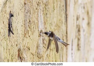 Sand Martins (Riparia riparia) - Sand Martins starting to...