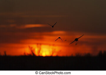 Sand martins silhouettes at sunset, wheat field