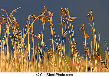 Sand martins sit on a background of stormy sky