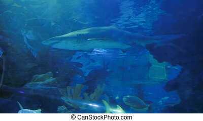 Sand Tiger Shark (Carcharias taurus), dangerous fish floating in special tank.
