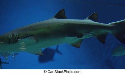 Sand tiger shark Carcharias taurus footage video - Sand...