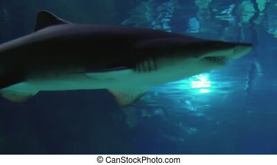 Sand tiger shark (Carcharias taurus) footage video - Sand...