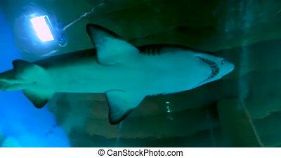 Sand tiger shark, Carcharias taurus, grey nurse shark,...