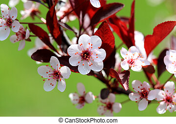 Sandcherry Blossom - Seven petals flower of Purple leaf...