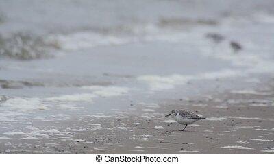sanderling - birds on the beach