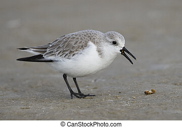 Sanderling in winter plumage foraging on a Gulf of Mexico beach - Florida