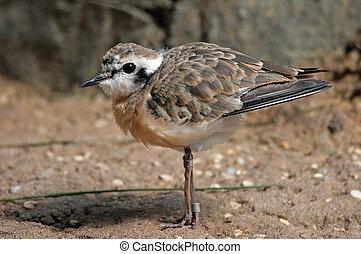 sanderling, ptáček