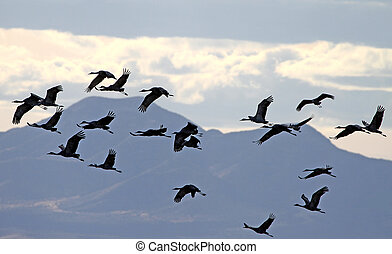 Sandhill Crane flock in flight 2