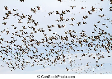 Sandhill Crane flock, Willcox, AZ 1
