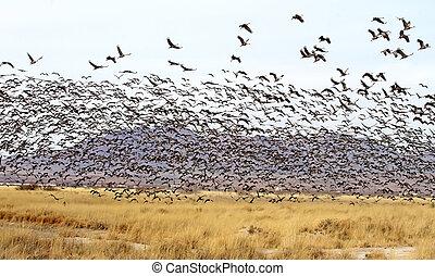 Sandhill Crane flock, Willcox, AZ 2