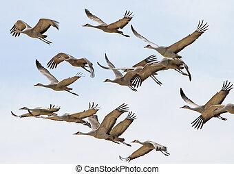 Sandhill Crane flock, Willcox, AZ 5