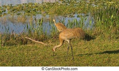 Sandhill cranes family feed near lake. - Sandhill Crane...