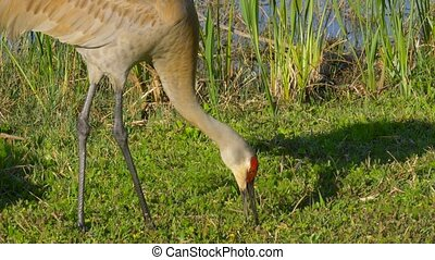 Sandhill Crane (Grus canadensis) - Florida