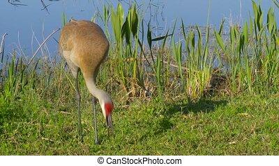 Sandhill Crane, Grus canadensis - Florida - Sandhill Crane...