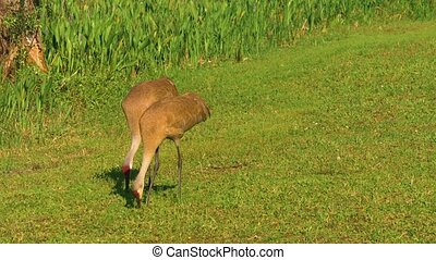 Sandhill Crane (Grus canadensis) - getting food