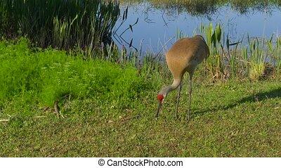 Sandhill Crane Grus canadensis , slow motion.