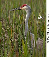 Sandhill crane in tall reeds protecting her nest