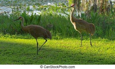 Sandhill cranes family feed near lake.