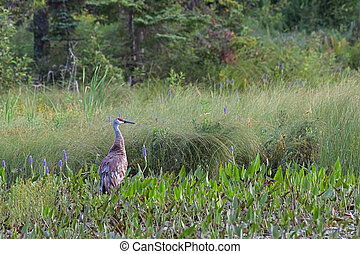 Sandhill Crane with Pickerelweed