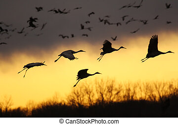 Migrating sandhill cranes (Grus canadensis) come for a landing at sunset in the Jasper-Pulaski Fish and Wildlife Area near Medaryville, Indiana