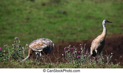 Sandhill Cranes feeding in a field