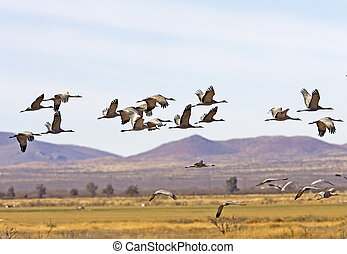 Sandhill Cranes - Grus canadensis - in winter in Arizona