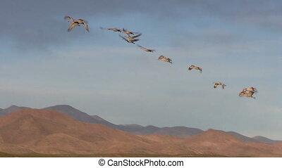 Sandhill Cranes in Flight - sandhill cranes taking off for ...