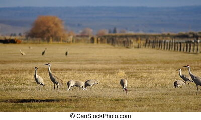 Sandhill Cranes Tall Elegant Birds Pick Peck Ground Feeding...