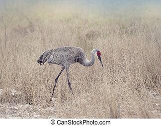 Sandhill Cranes Walking