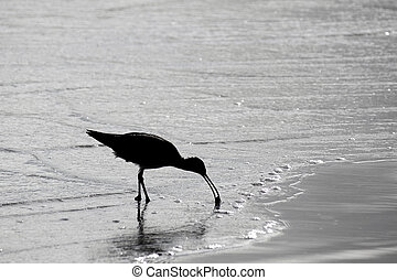sandpiper at seashore with backlight searching for food