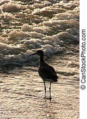 Sandpiper Bird - Sandpiper in Shallow Ocean Water at Sunset ...