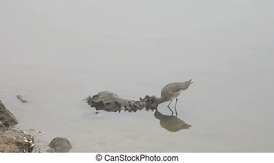 sandpiper eating - a sandpiper feeds near the shoreline on a...