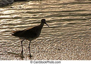 Sandpiper in Shallow Ocean Water at Sunset Sanibel Florida ...
